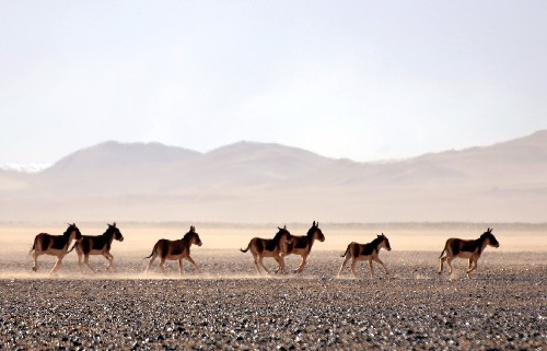 Tibetan wild ass running on Qinghai-Tibet Plateau, Tibet Train Travel
