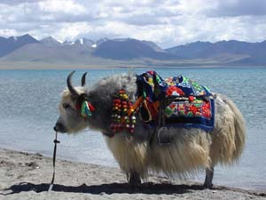 Tibet Yak photo, Tibet Train Travel